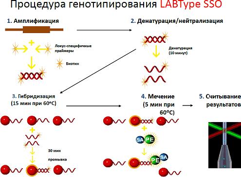 Основные этапы мультиплексного HLA-генотипирования
