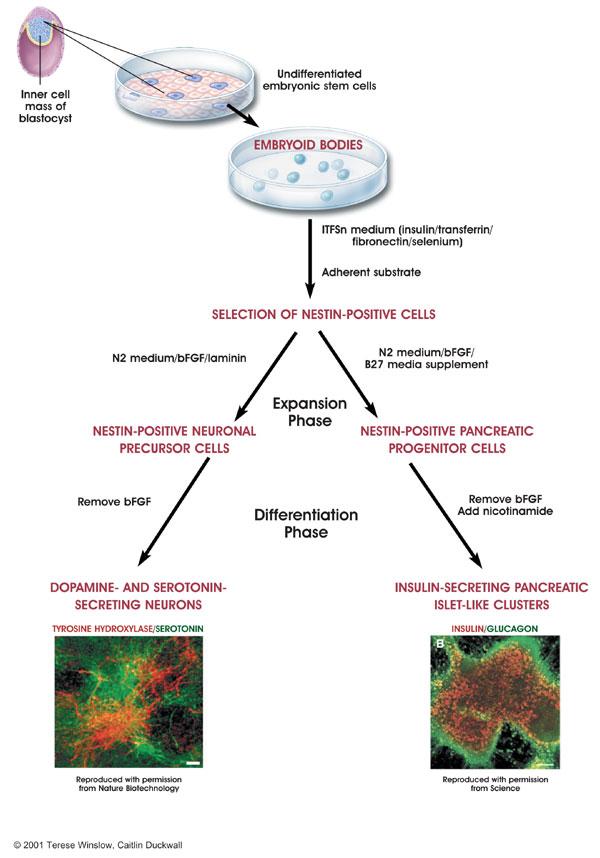 спонтанная дифференциация стволовых клеток