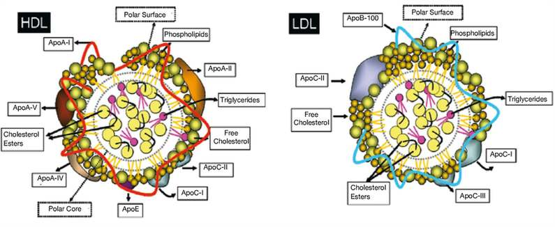Schematic of high density lipoproteins (HDL) and low-density lipoproteins (LDL). Main protein and lipid components. Apo indicates apolipoprotein. By Lina Badimon.