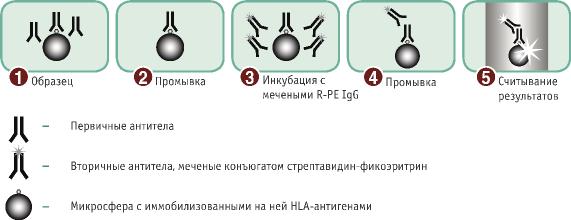 LABScreen - идентификация антител к HLA антигенам